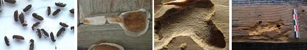 attaques d'insectes xylophages et attaque fongique (carpophore de la mérule)